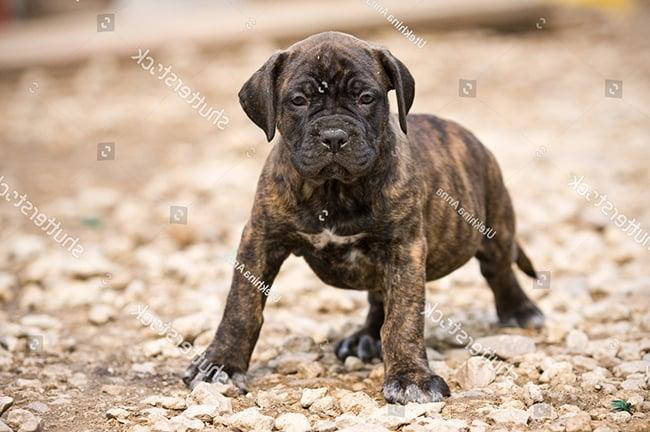 Chó Presa Canario hung hãn và nguy hiểm nhất thế giới » Pet Mart
